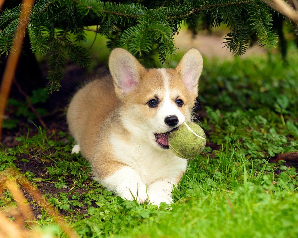 Щенок корги с мячиком